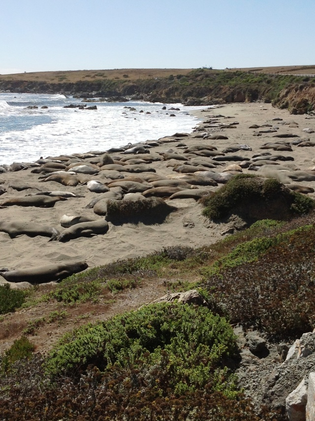 Elephant seals doin' what they do.