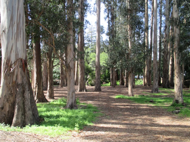 Eucalyptus Grove on campus.