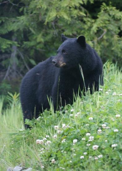 tesserology whistler bear