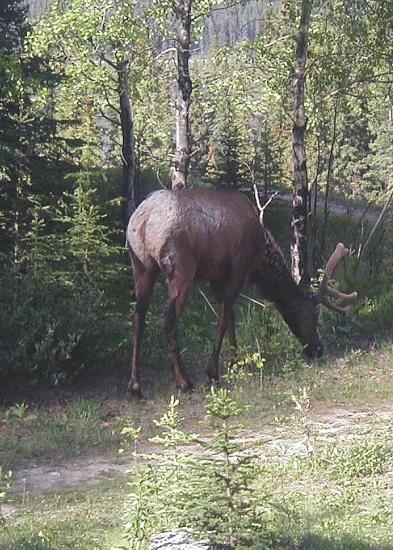 tesserology banff elk